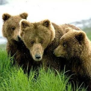 Medvedka z mladički