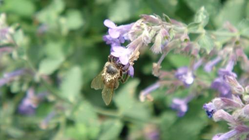 Čebela na metinem cvetu