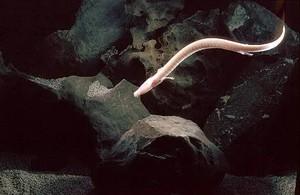 Proteus ali človeška ribica