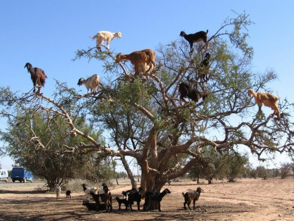 V Maroku koze dejansko plezajo na drevo. (FOTO: avito.ru)