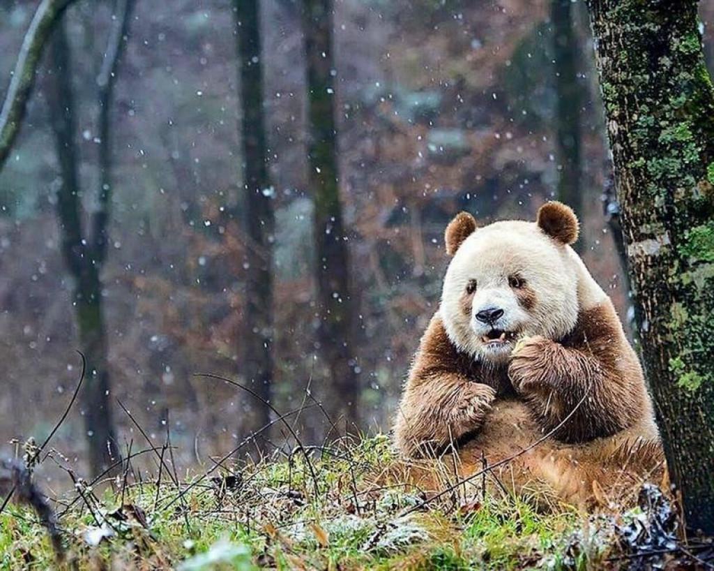 Edina rjava panda na svetu (FOTO: 9gag.com)