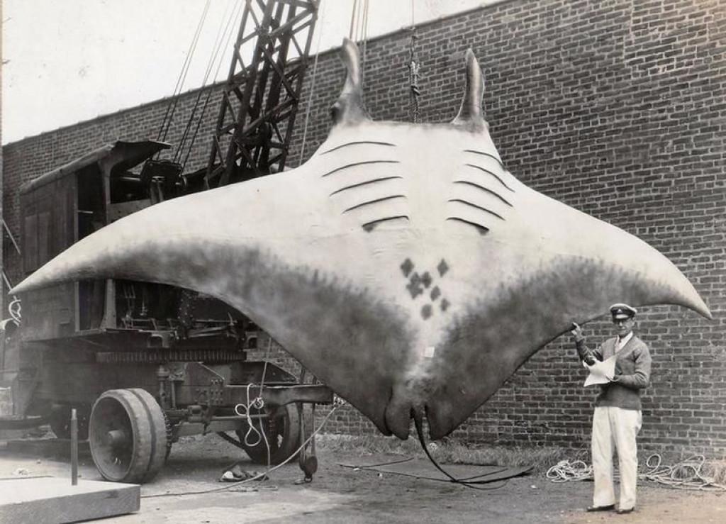 To je verjetno največja manta, ki so jo ujeli na film. Težka je nekaj več kot 2 toni (FOTO: zumbido.es)