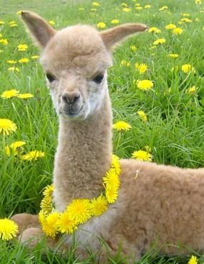 Alpaka in regrat