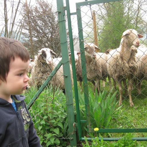 Gaj in ovčke