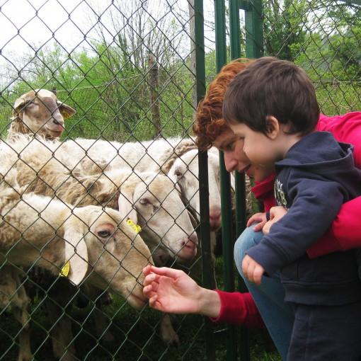 Gaj je ovčke opazoval z varne razdalje.