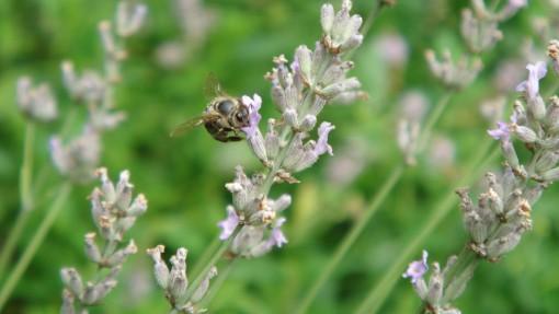 Čebela na sivkinem cvetu