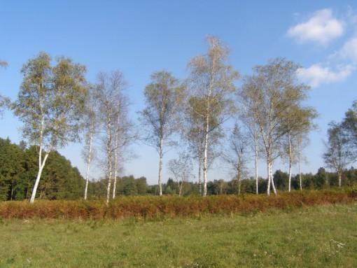 Belokranjske breze