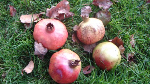 Zrela granatna jabolka