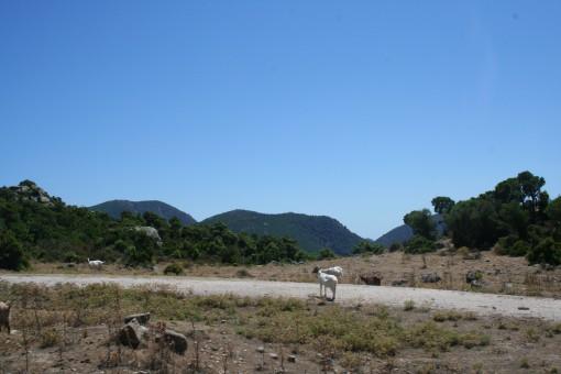 Koze na poti sredi ničesar.